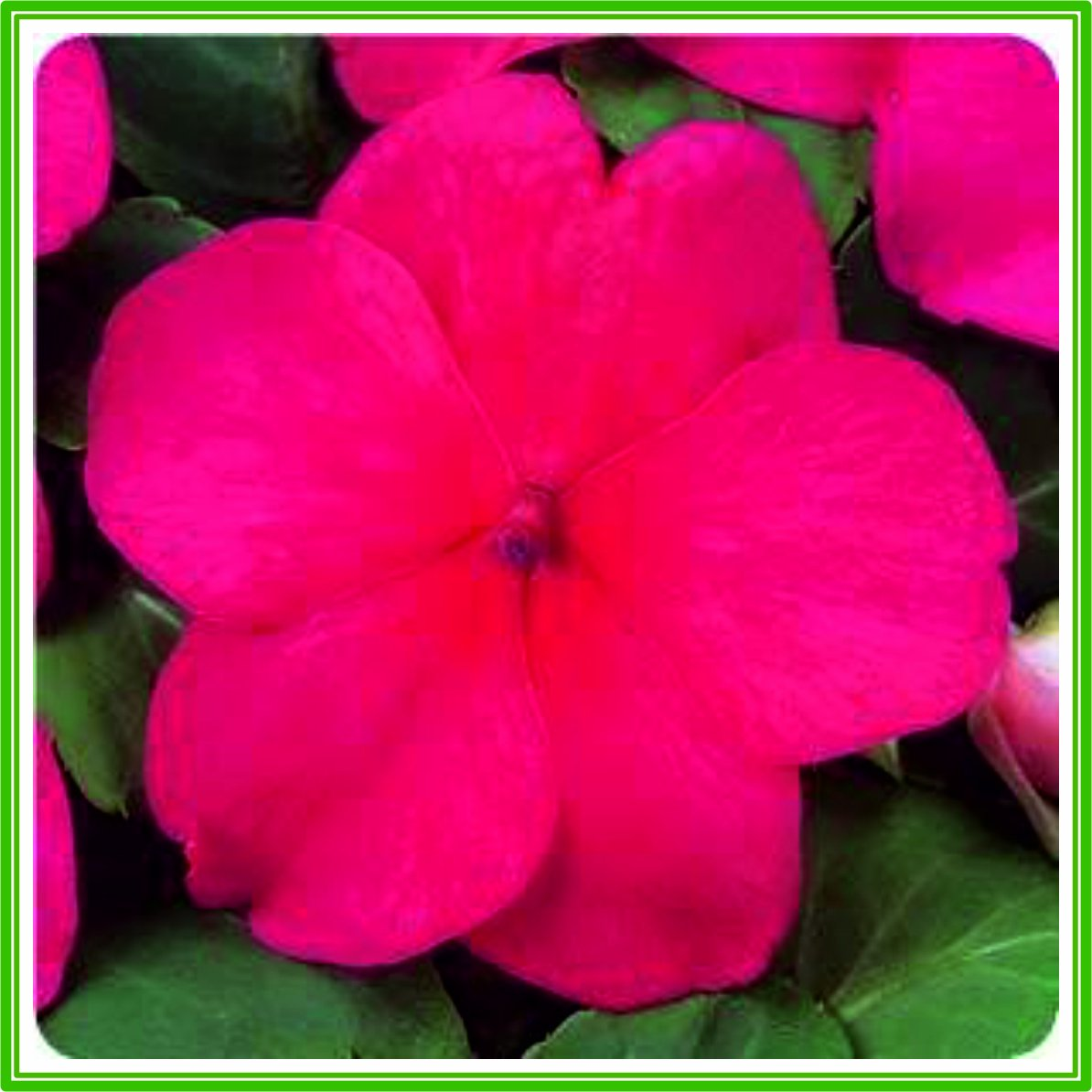 AJP Impatiens (Busy Lizzie) F1 Dezire Series 'Cherry ' Seed