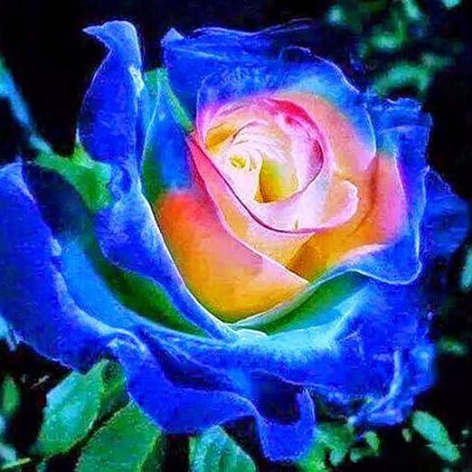 Lonlier Semillas de Rosas Multicolor 10/20/50 PCS Semillas de Flores Raras para Jardin, Balcon Interior, Huerto: Amazon.es: Jardín