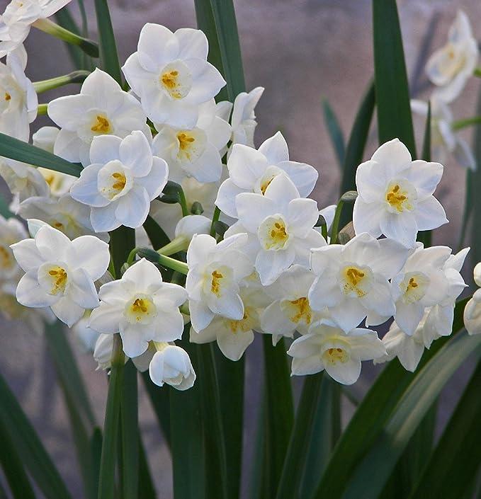 Amazon.com : Ziva Paperwhite Narcissus - 5 Bulbs - 15/16 cm Bulbs ...