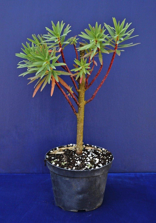 Portal Cool Tiesto lechetrezna Euphorbia Dendroides /árbol V14 Planta En Crisol algodoncillo Arborea