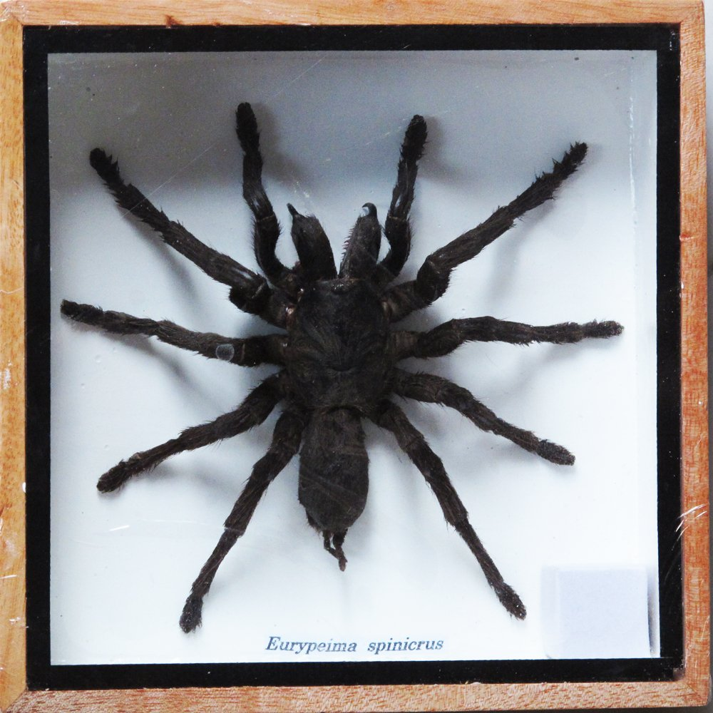REAL EURYPEIMA SPINCRUS TARANTULA SPIDER TAXIDERMY BOXED INSECT DISPLAY