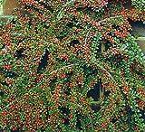 "Tom Thumb Cotoneaster - Cotoneaster adpressus - 4"" Pot - True Dwarf"