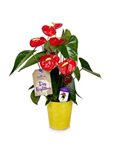 Hallmark Flowers Happy Hearts Red Anthurium Plant 15-Inch To 18-Inch Tall In Yellow Ceramic Container, 1.0 Count