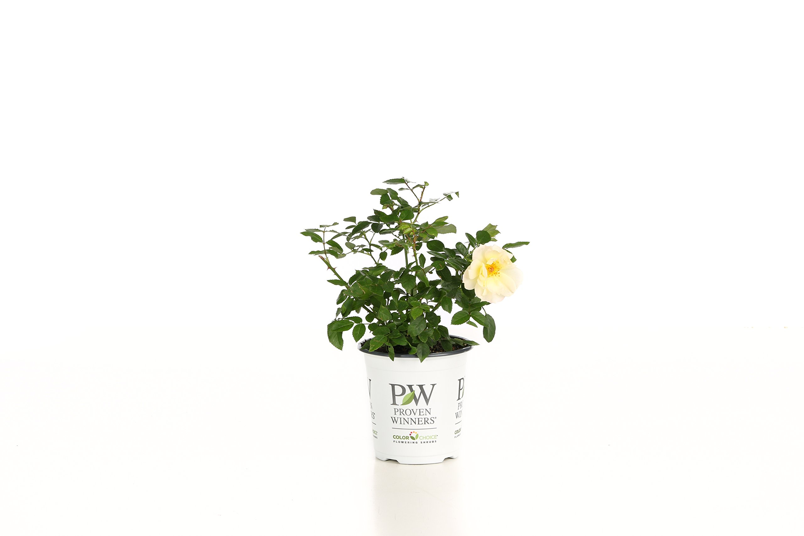 Oso Easy Italian Ice Landscape Rose (Rosa) Live Shrub, Orange, Pink, and Yellow Flowers, 4.5 in. Quart