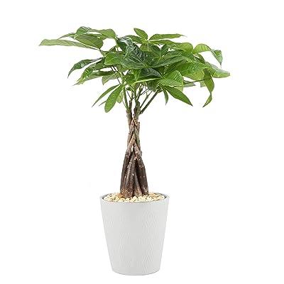 Costa Farms Money Tree Pachira