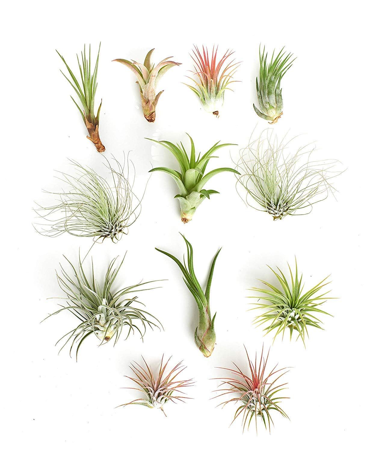 Shop Succulents | Assorted Collection of Tropical Tillandsia Air Plant Kit, Hand Selected Variety Pack | Collection of 12 by Shop Succulents