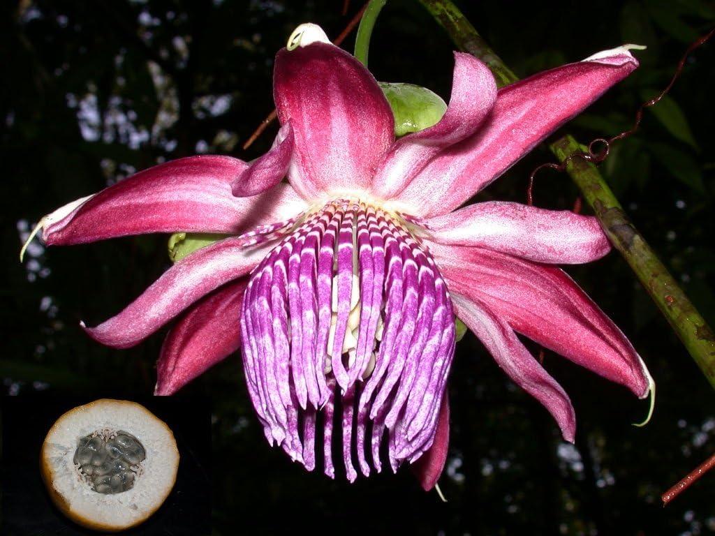 VERY RARE Passiflora Ambigua Collector Rare Passion Fruit Flower Fresh 3 Vine Seeds