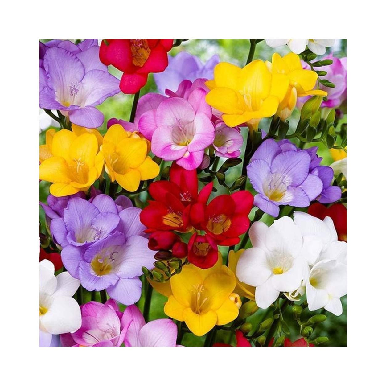 25 Freesia Mixed Single Scented Prepared Bulbs, Flower Guarantee by Plug Plants Express Limited