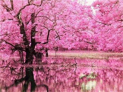 Amazon Com Cherry Blossom Trees Pink Flowers Lake Reflections