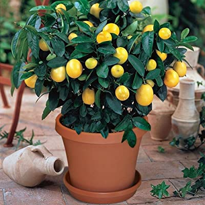 Bornbayb 30Pcs Lemon Tree Seeds Fruit Trees Planted Seeds for Indoor and Outdoor : Garden & Outdoor