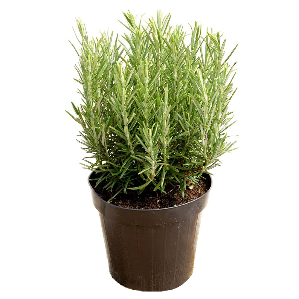 AMERICAN PLANT EXCHANGE Tuscan Blue Rosemary Live, 1 Gallon, Cooking Spice