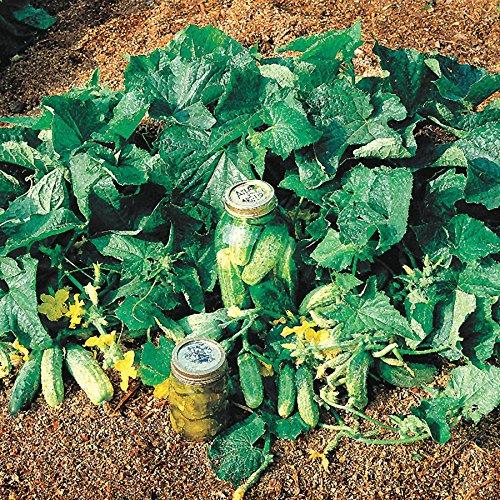 Park Seed Bush Pickle Hybrid Cucumber Seeds Pkt is 30 Seeds.