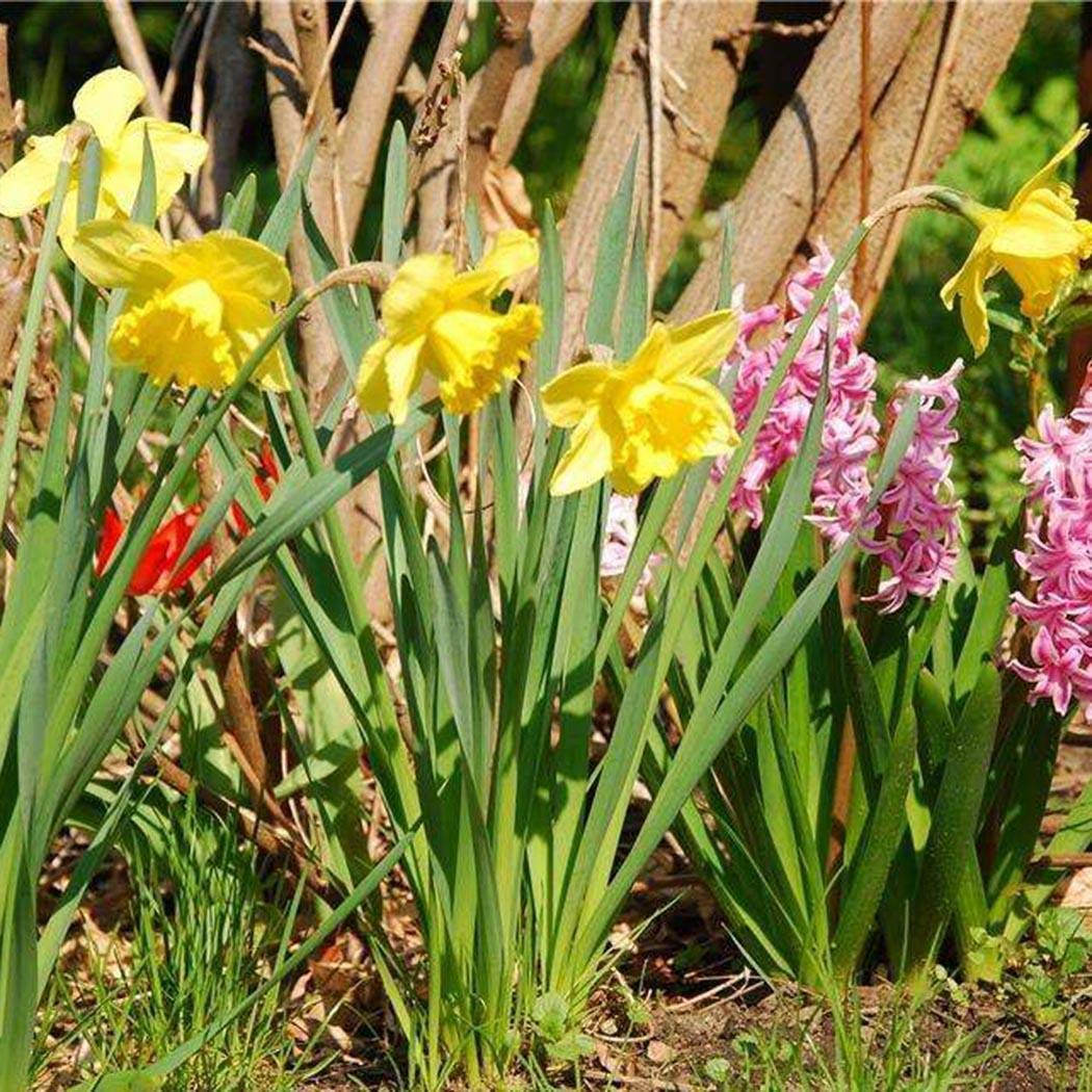 100Pcs Semillas de narcisos raros Semillas de flores multicolores perennes Campanas Flores Semillas Bulbos de flor de hoja perenne para balc/ón TOMASA/Seedhouse Jard/ín