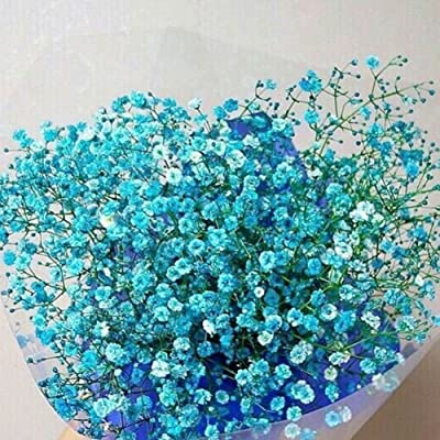 Seed 30Pcs Colorful Baby's Breath Gypsophila Seeds Flower Garden Bonsai Plant Decor - Blue : Garden & Outdoor