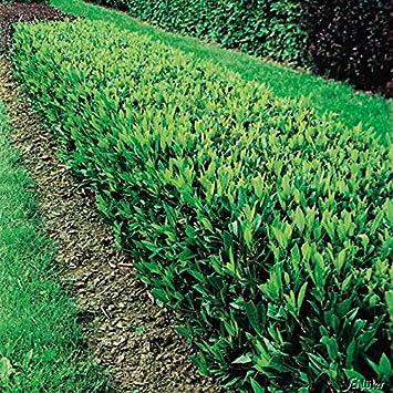 40 Stück Kirschlorbeer Caucasica winterhart Prunus Hecke 40-60cm