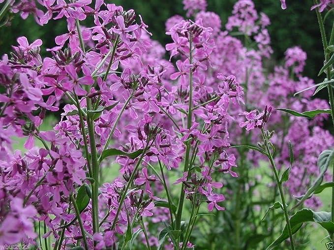 Hesperis Purple /& White Mix 500 Seeds Sweet Rocket