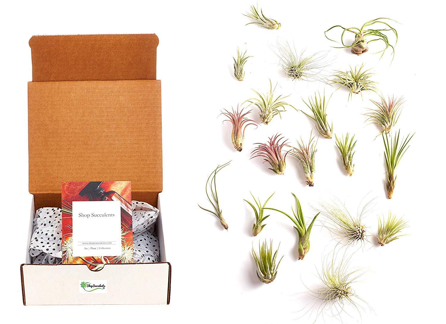 Shop Succulents Kit, Hand Selected Variety Pack Assorted Collection of Tropical Tillandsia Air Plant, 24, Green