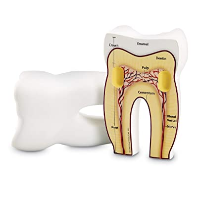 Learning Resources Cross-Section Tooth Model: Office Products