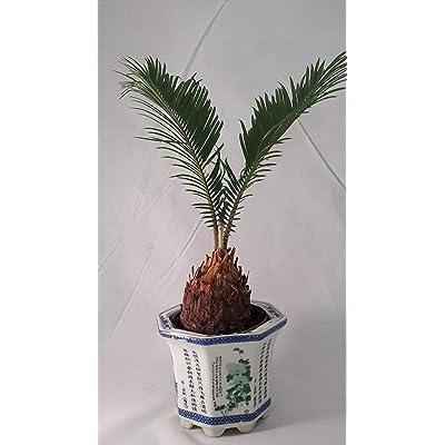 Sego Palm Bonsai Pot with vase Lucky: Garden & Outdoor