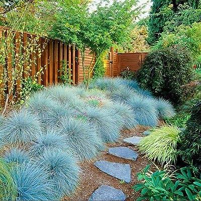 KOUYE GardenSeeds 100 Pcs Blue Fescue Grass Ornamental Festuca Grass Seeds (Festuca Glauca) Ornamental Perennial Hardy Grass Seeds for Garden : Garden & Outdoor
