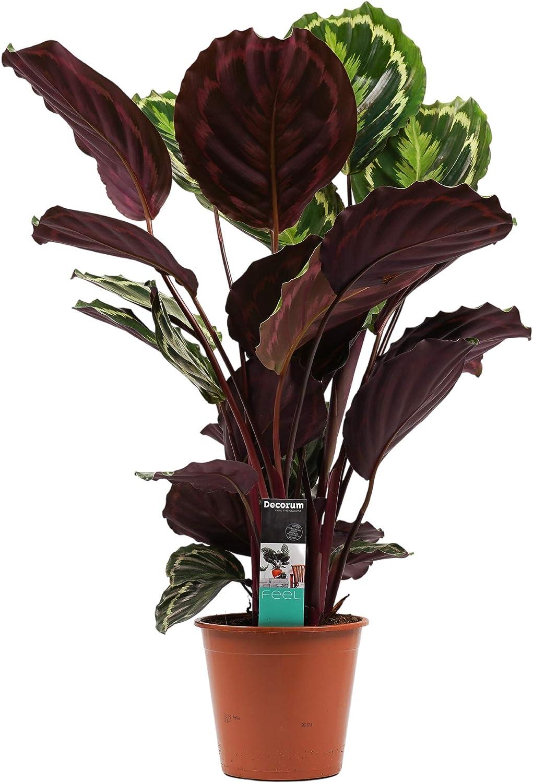 Hauteur Plante dint/érieur 70 cm Calathea Medaillon