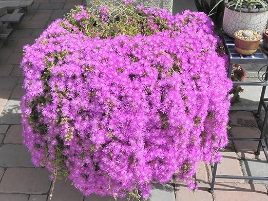 18 Cuttings Ice Plant Purple Ground Cover Rare Cactus