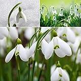 Galanthus waronowii Schneegl/öckchen 5 Blumenzwiebeln