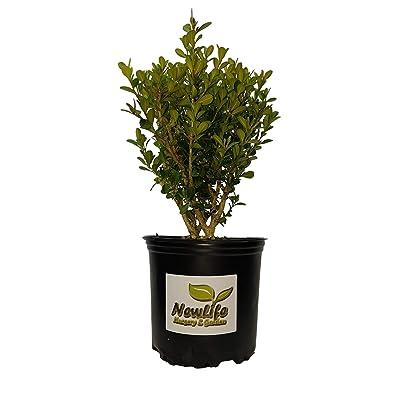 Japanese Boxwood - Live Plant - Full Gallon Pot : Garden & Outdoor