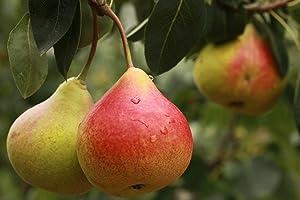 Dwarf Comice Pear Tree - Sweetest pear Grown Today!