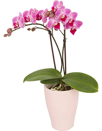 243a351a339ceb Color Orchids Live Blooming Double Stem Phalaenopsis Orchid Plant in  Ceramic Pot