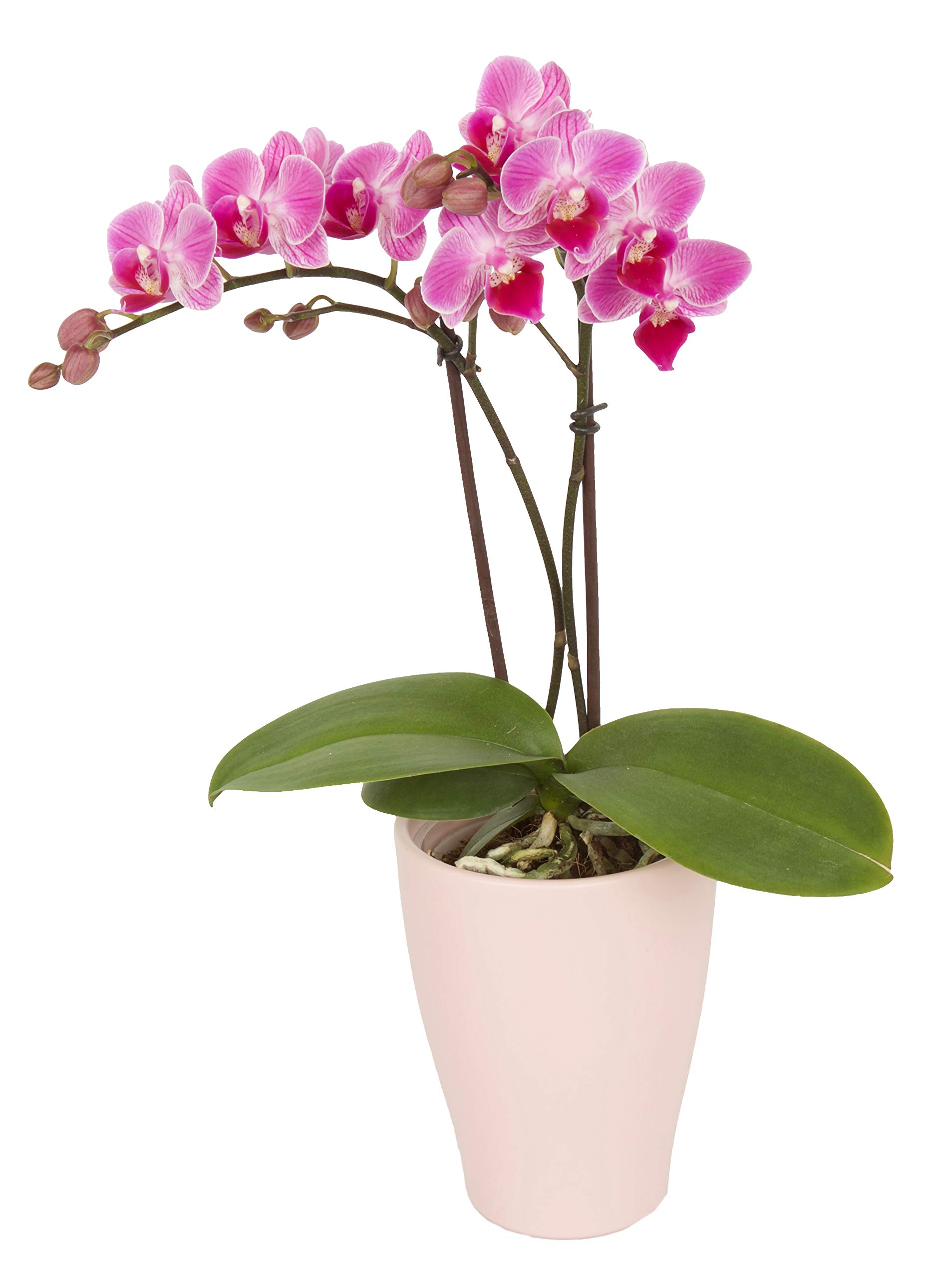 Color Orchids Live Blooming Double Stem Phalaenopsis Orchid Plant in Ceramic Pot, 15''-20'' Tall, Pink Blooms