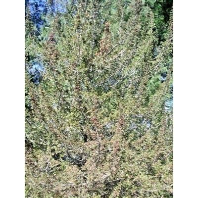 20 Compact Atlantic White Cedar Seeds #RDR02 : Garden & Outdoor