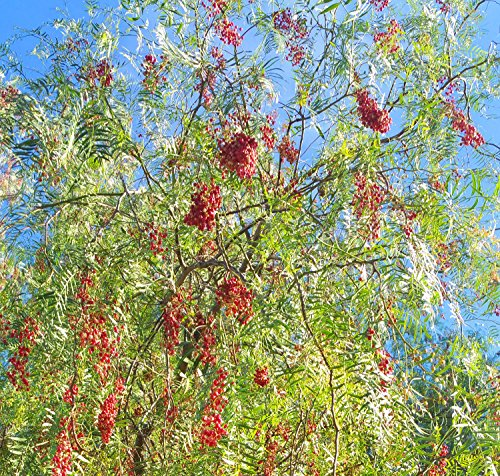 California Tree Pepper - Schinus molle Seeds - 60 seeds (California Pepper Trees)