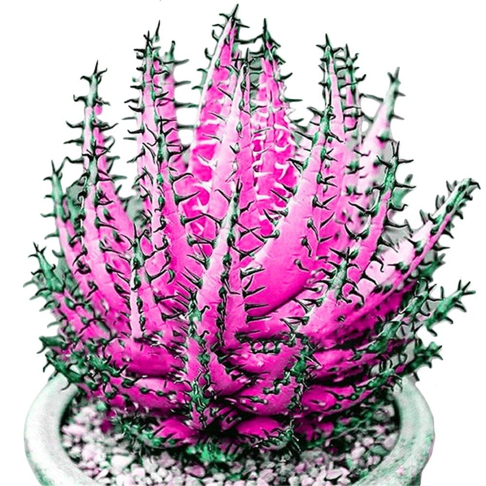 Academyus 100 Pcs Colorful Aloe Vera Succulent Herbal Bonsai Balcony Garden Plants Decor