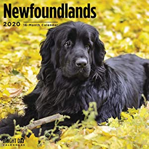 2020 Newfoundlands Wall Calendar by Bright Day, 16 Month 12 x 12 Inch, Cute Dogs Puppy Animals