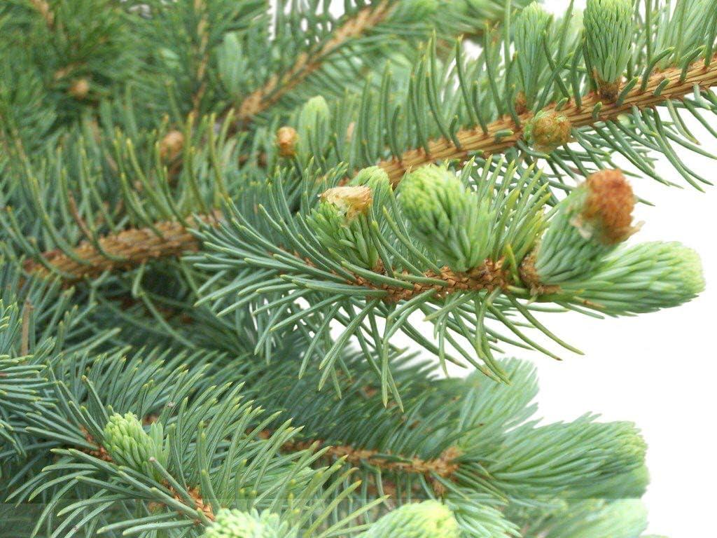 Amazon.com : Homegrown Pine Tree Seeds, 100 Seeds, Spruce Pine ...