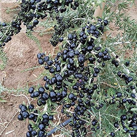 Amazon Com 100 Seeds Lycium Barbarum Lycium Ruthenicum Black