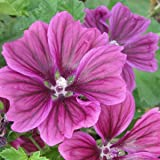 Wilde Malve - Dunkelviolett - Malva sylvestris var. mauritiana - Zier-/Arzneipflanze - 250 Samen