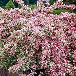 1x de Weigela florida Variegata 'deciduous arbusto Hardy Jardín Planta en maceta