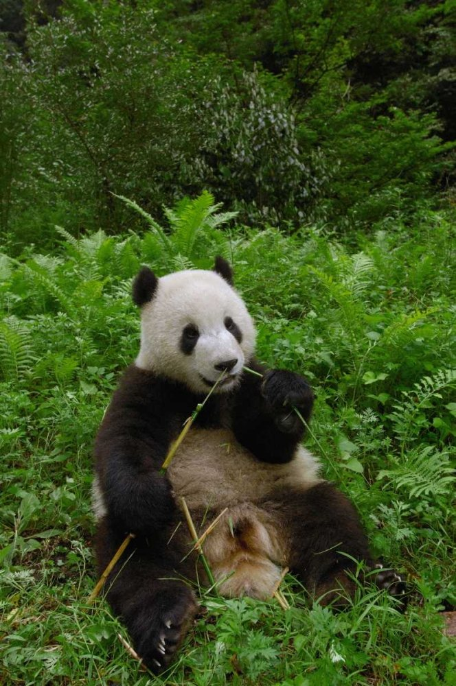 20 x 28 Giant Panda sitting in vegetation eating bamboo Wolong Nature Reserve China Poster Print by Pete Oxford