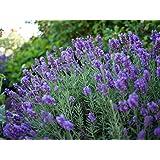 Phenomenal Blue Lavender Herb - Live Plant - Quart Pot