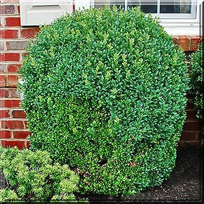 """5 Live Plant Green Mountain Boxwood 2.5"""" Pot Shrubs Garden tkeen : Garden & Outdoor"""