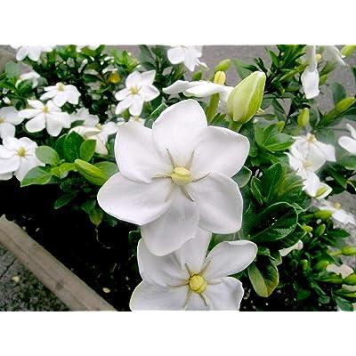 Gardenia Thunbergia - Forest Wild Gardenia - Rare Tropical Plant Seeds (5) : Garden & Outdoor
