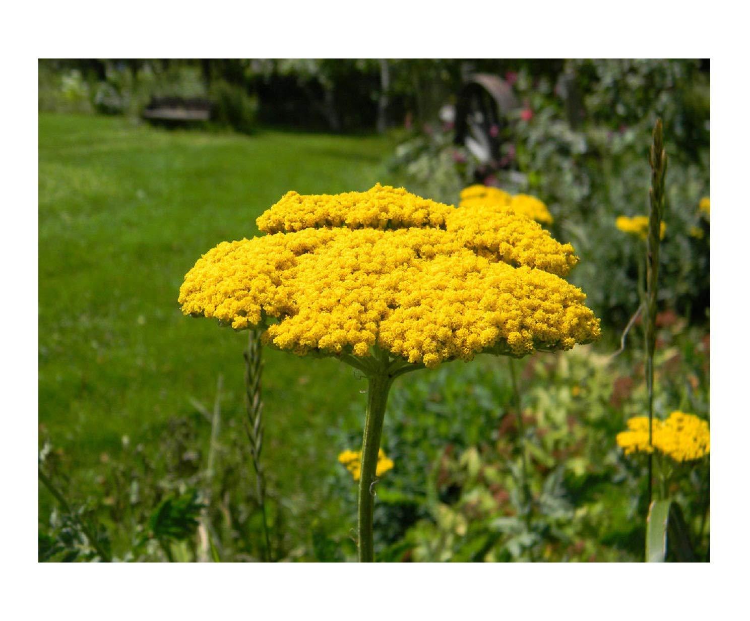 Amazon Com Seeds Yarrow Perennial Gold Yellow Flower 1380