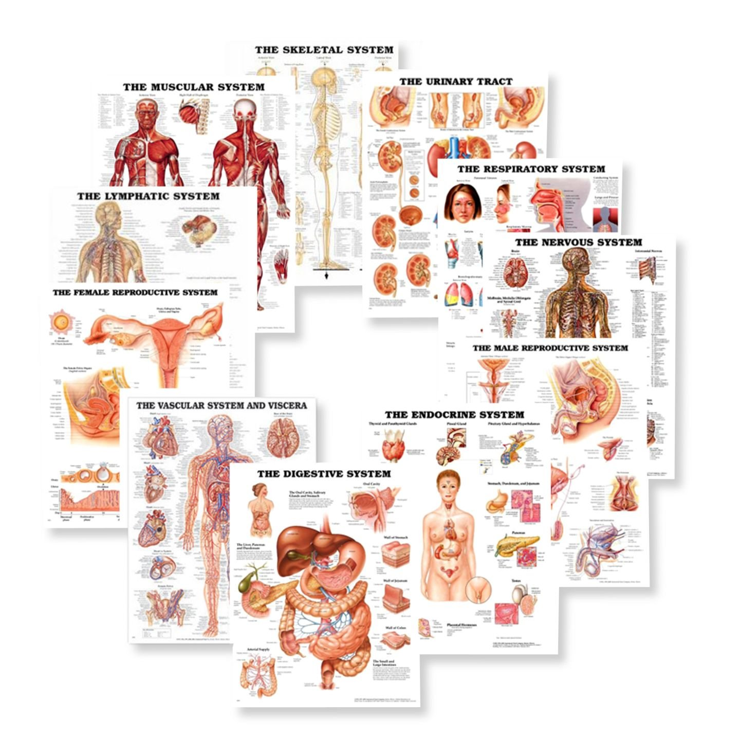 Systems of the Body Anatomy Chart Set