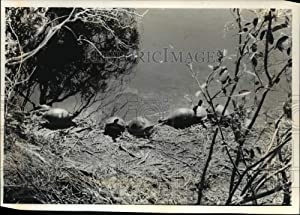 Historic Images - 1993 Press Photo Turtles at Waters Edge, Shark Valley Visitor Center Everglades