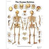 3B Scientific Human Anatomy - The Human Skeleton Chart, Laminated Version