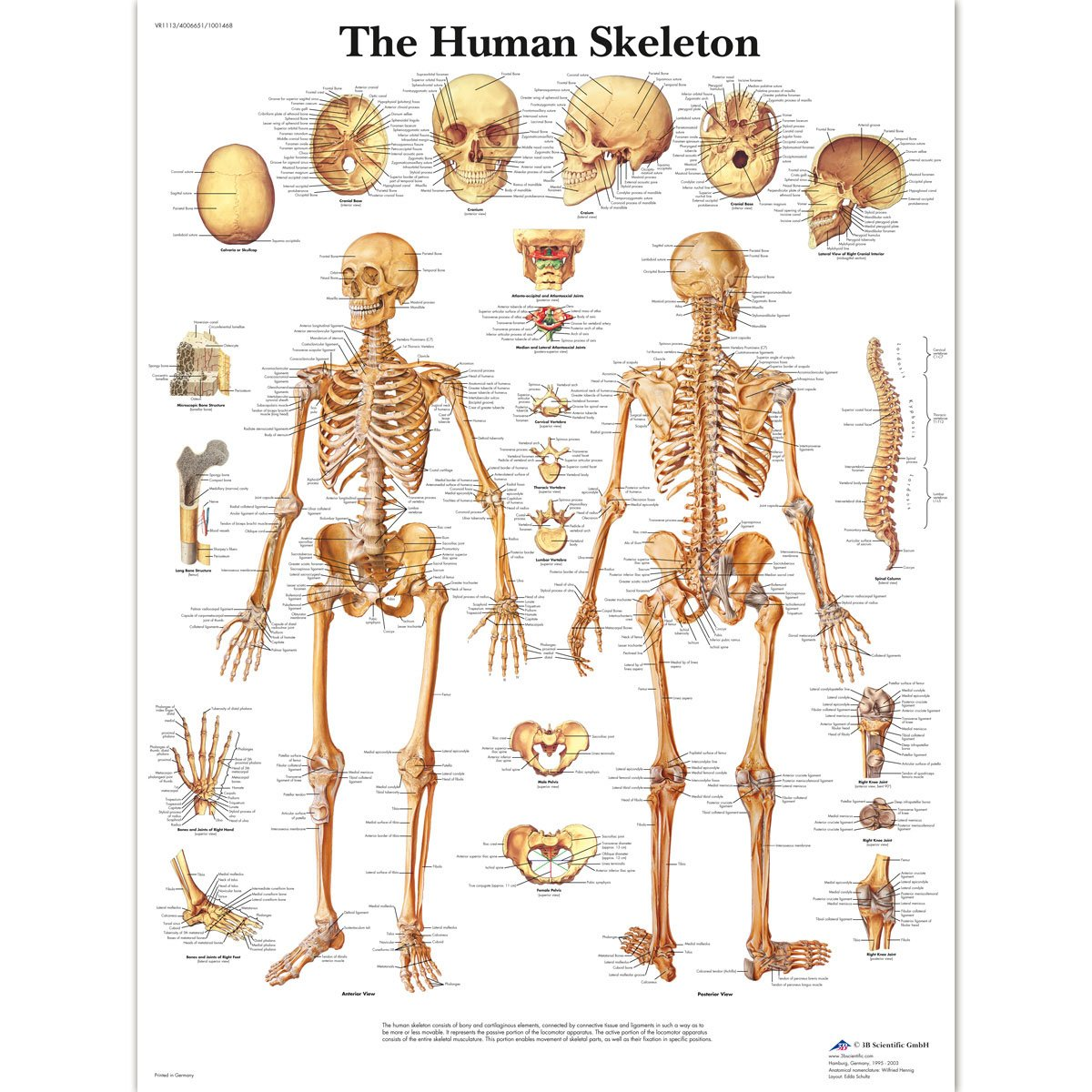 3B Scientific VR1113L Glossy Laminated Paper Human Skeleton Anatomical Chart, Poster Size 20-Inch Widthx26-Inch Height 1001468