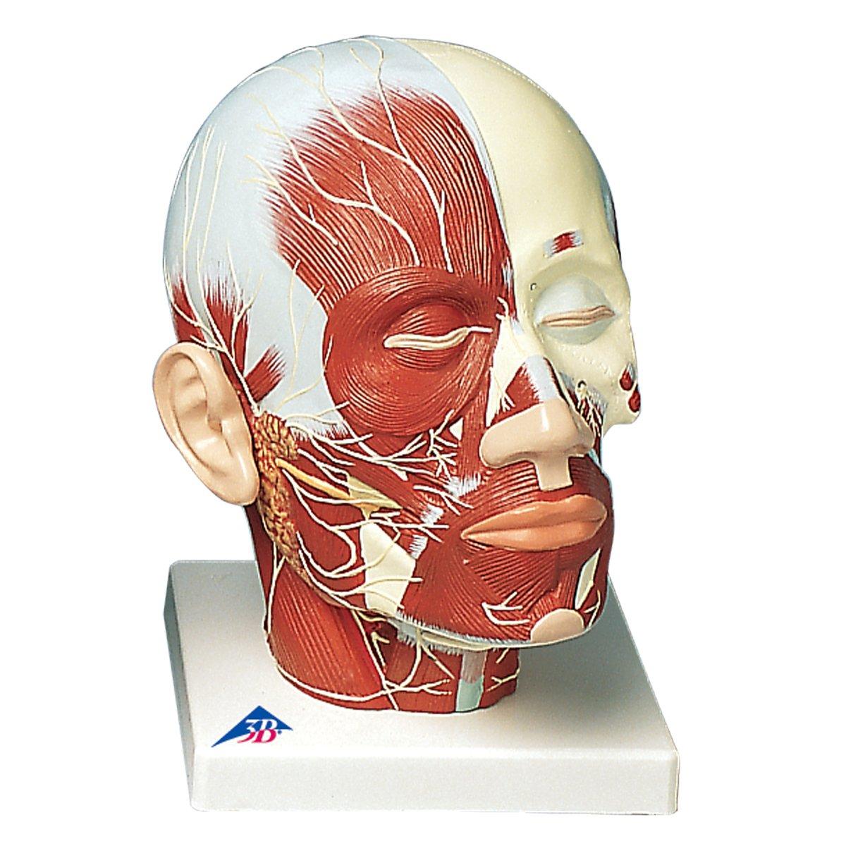 【2019春夏新作】 頭頚部の筋肉モデル,神経付 神経付き 神経付き B007NCWCJ0 B007NCWCJ0, イマダテチョウ:af046499 --- a0267596.xsph.ru
