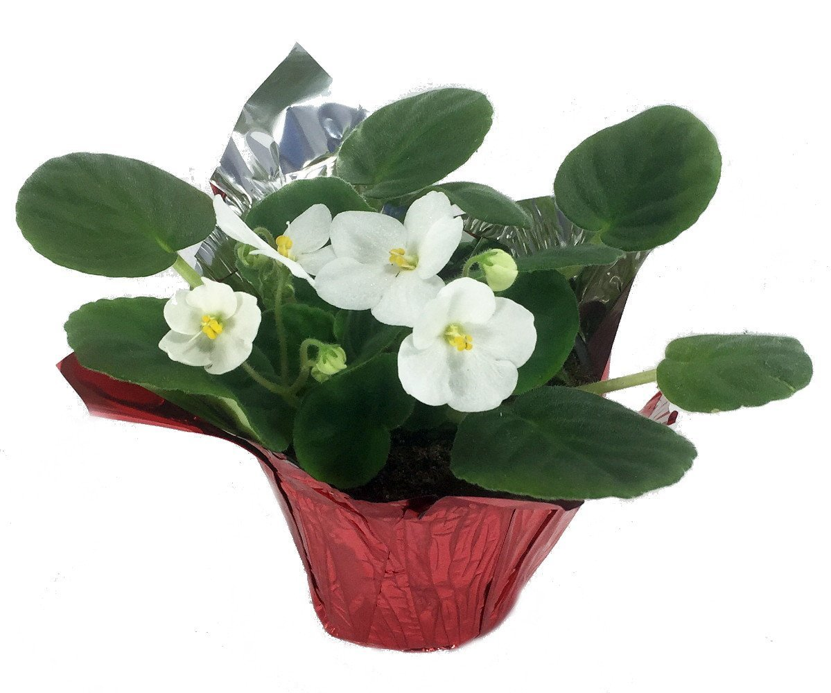 Novelty African Violet in Decorative Holiday Pot Cover – 4 Pot
